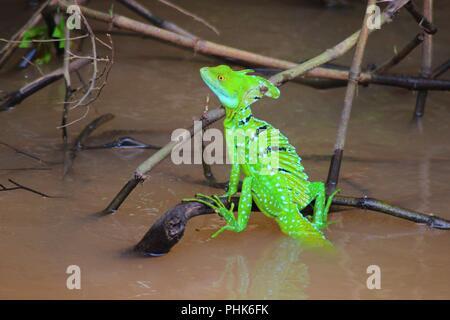 Jezus Christ Lizard or Plumed Basilisk - Costa Rica - Stock Photo