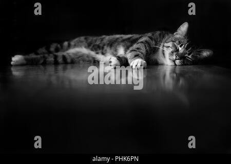 Beautiful Sleeping Tabby Cat lying on the floor showing his reflection with a black background and foreground, in black and white - Stock Photo