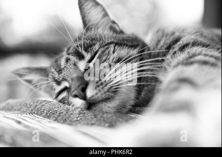 A young domestic Tabby Cat, enjoying doing what cats do best, relaxing and sleeping on a table outside on a hot day - Stock Photo