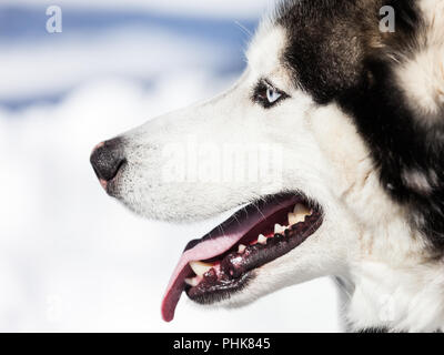 Cute siberian husky dog walking outdoor - Stock Photo