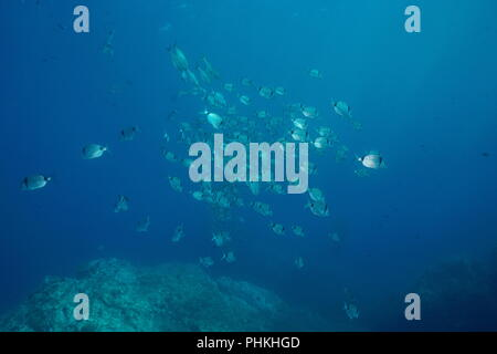 Mediterranean sea school of fish underwater, common two-banded sea bream Diplodus vulgaris, Pyrenees-Orientales, Roussillon, France - Stock Photo