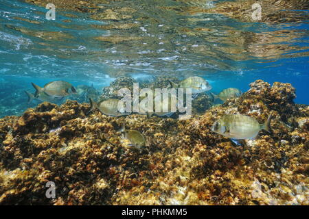 White sea breams fish underwater, Diplodus sargus, with rock covered by mussels and barnacles below water surface in the Mediterranean sea, France - Stock Photo