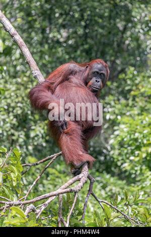 Bornean oranugtan standing high in a tree, Sekonyer River, Kalimantan, Indonesia - Stock Photo