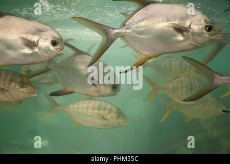 Group of Carangidae fish in an aquarium close-up. South China Sea underwater life species in Vietnam - Stock Photo