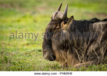 Close-up of white-bearded wildebeest lying on grass - Stock Photo