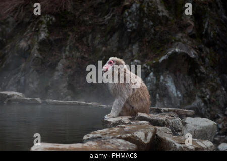 Japanese snow monkey enjoying the hot springs - Stock Photo