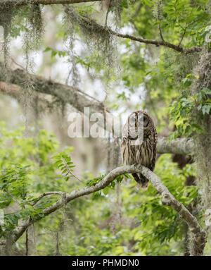 Barred Owl in Beautiful Scenery - Stock Photo