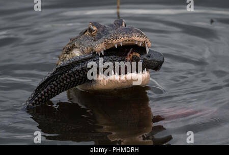 Alligator in the water looking for Food - Stock Photo