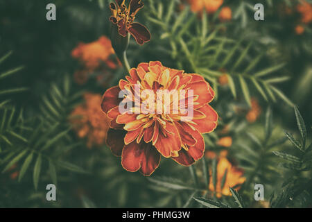 Marigold flower. Garden flowers. Yellow flower. Orange flower. Summer flower. - Stock Photo