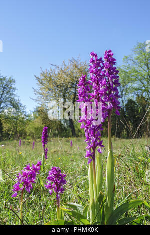 Early-purple orchid flowers in springtime on a meadow - Stock Photo