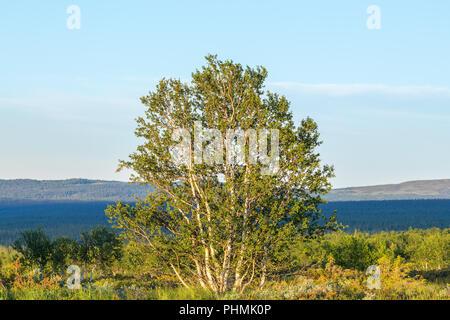 Birch tree in a wilderness view - Stock Photo