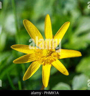 Close up at a Pilewort early spring flower - Stock Photo