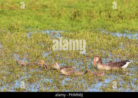 Greylag Goose goslings in spring - Stock Photo
