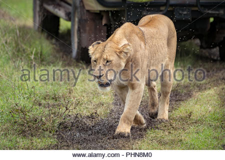 Lioness passes jeep in cloud of flies - Stock Photo