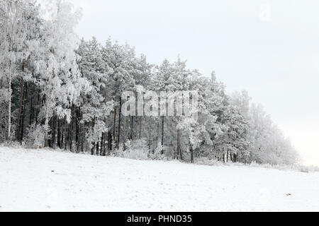 growing on a hill of trees covered with hoar frost, photographed in the winter season during the frost, Cloudy weather and gray sky - Stock Photo