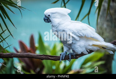White umbrella cockatoo at St. Augustine Alligator Farm and Zoological Park in St. Augustine, Florida. (USA) - Stock Photo