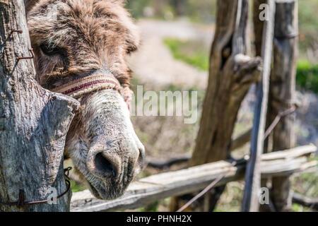 Sad donkey close up - Stock Photo