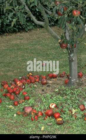 Fallen apples left to rot on the ground - Stock Photo