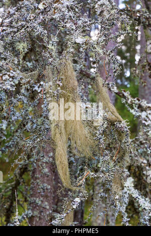 Beard lichen on branches in forests - Stock Photo
