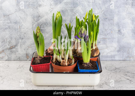 Growing flower bulb in pot on white backgroun - Stock Photo