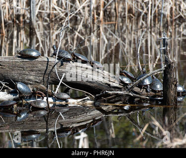 Painted turtle colony group turtles on logs in the pond in their surrounding and environment displaying their shells, heads, eyes, paws. - Stock Photo