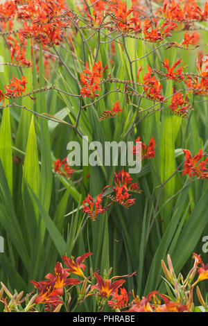 Crocosmia 'Lucifer' flowers in an herbaceous border - Stock Photo