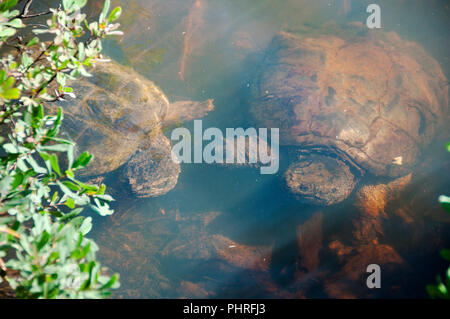 Snapping turtle couple in its environment. - Stock Photo