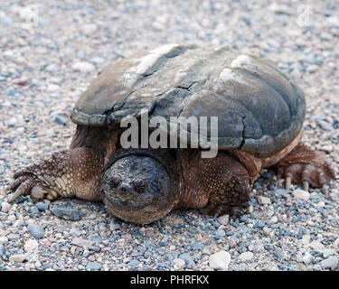 Snapping turtle close up in its environment. - Stock Photo