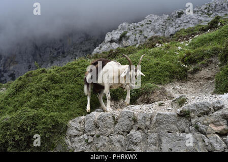Mountain goat in the Cares Gorge linking Poncebos and Cain in the Picos de Europa, Northern Spain - Stock Photo
