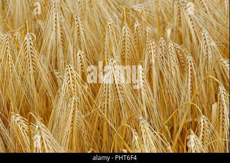 Field of wheat growing in the uk
