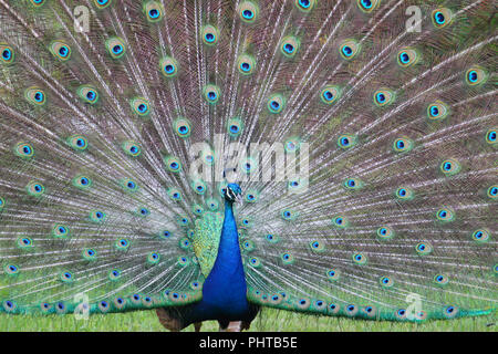 Mating display of a peacock. - Stock Photo