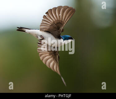 Swallow bird flying with a bokeh background in its environment and surrounding. - Stock Photo