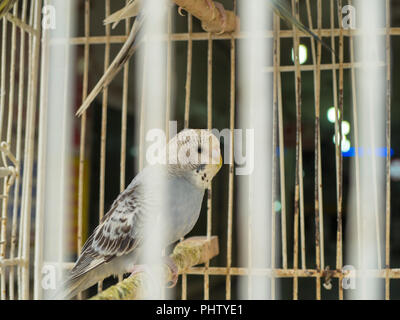 white-colored budgerigar that appears among the cage tails and in the cage - Stock Photo