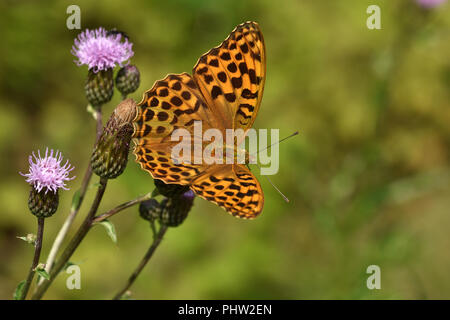 silver-washed fritillary, butterfly, Argynnis paphia, - Stock Photo