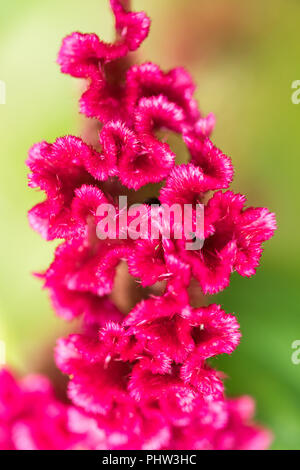 Red velvet cockscomb flower also known as Chinese wool - Stock Photo