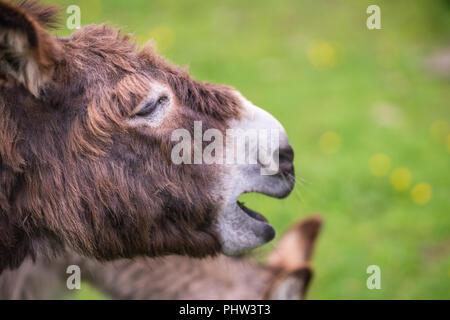 Large furry donkey shouting loudly - Stock Photo