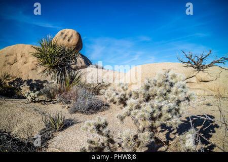 Teddy Bear Cholla Cactus in Joshua Tree National Park - Stock Photo