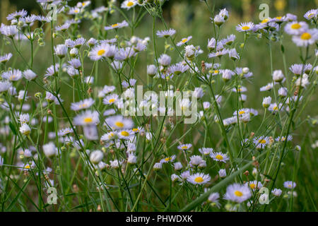 Daisy in the field on the sunny day - Stock Photo