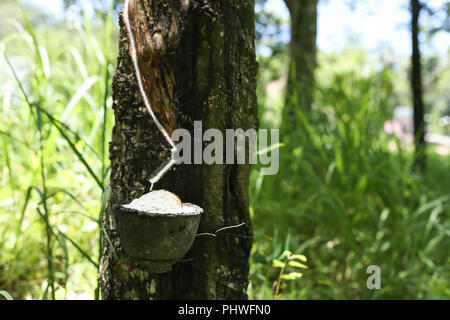 Rubber tree milk flowing into a bowl - Stock Photo
