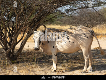 A cow walks in the bush, Namibe Province, Virei, Angola - Stock Photo