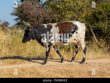 A cow walks in the bush, Huila Province, Chibia, Angola - Stock Photo