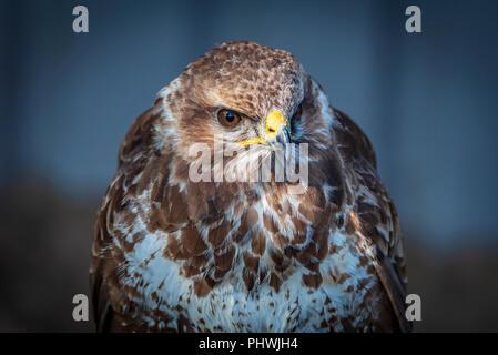 Raptor. Bird of Prey. Common Buzzard. - Stock Photo
