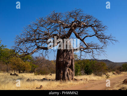 Baobab tree in the bush, Cunene Province, Oncocua, Angola - Stock Photo