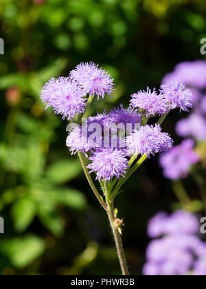 Lavender coloured flowers of the tender annual floss flower, Ageratum houstonianum 'Timeless Mixed' - Stock Photo