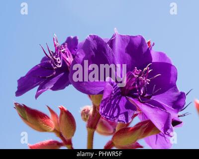 Exotic purple flowers of the autumn to winter blooming princess flower, Tibouchina semidecandra - Stock Photo