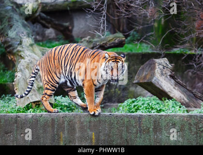 Siberian tiger also called Amur tiger in the nature. - Stock Photo