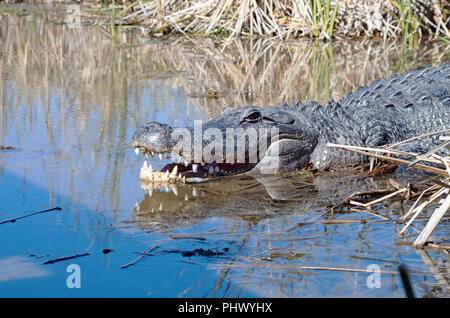 An American Alligator photographed at the Leonabelle Turnbull Birding Center in Port Aransas, Texas USA near Corpus Christ. - Stock Photo