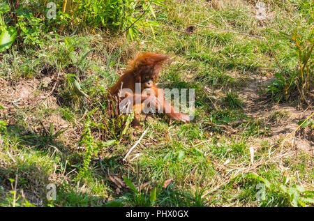 Sumatran Orangutan (Pongo abelii) born in December of 2017 at Chester Zoo UK. August 2018. - Stock Photo
