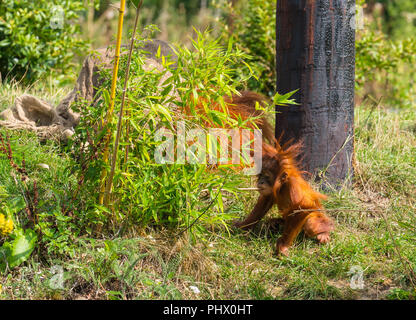 Sumatran Orangutan (Pongo abelii) mother and curious juvenile that was born in December of 2017 at Chester Zoo UK. August 2018. - Stock Photo