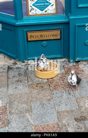 Pigeon bathing in dogs drinking bowl outside of a high street shop - Stock Photo